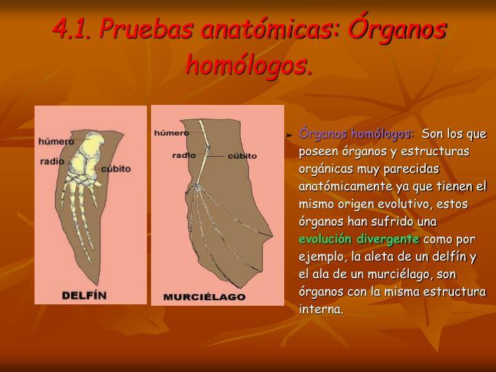 4.1. Pruebas anatómicas: Órganos homólogos.