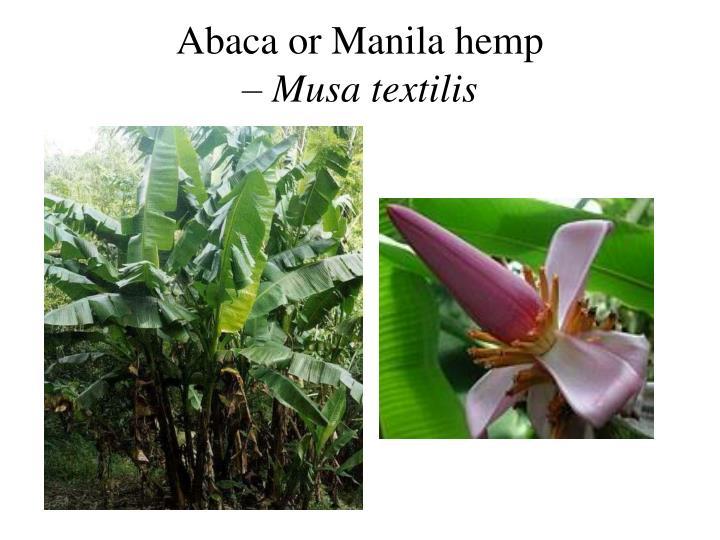 Abaca or Manila hemp