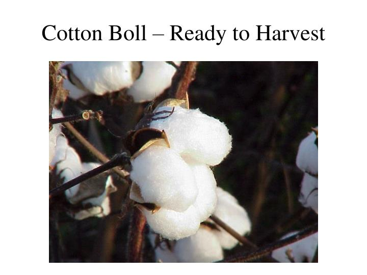 Cotton Boll – Ready to Harvest