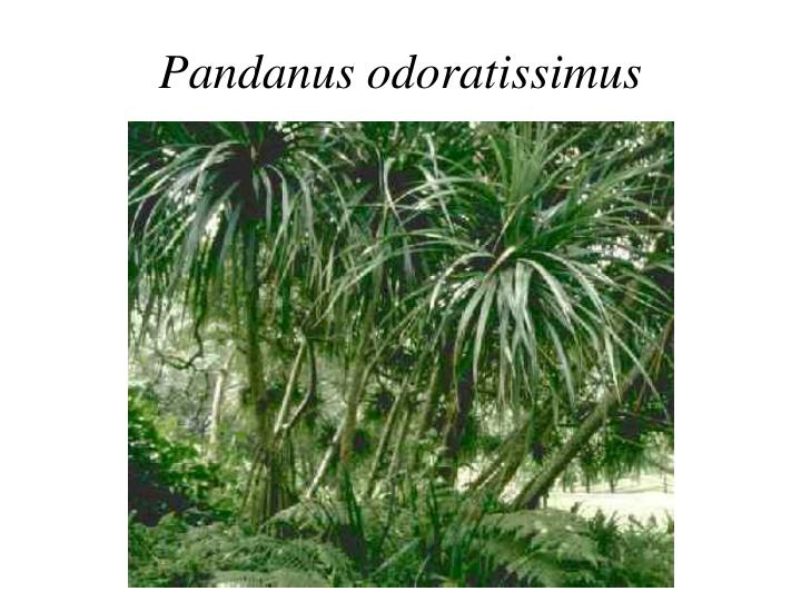 Pandanus odoratissimus