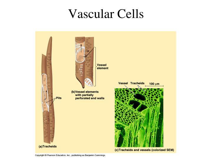 Vascular Cells