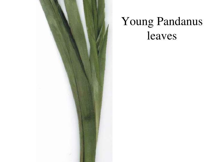 Young Pandanus leaves