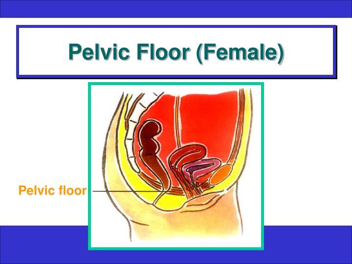 Pelvic Floor (Female)
