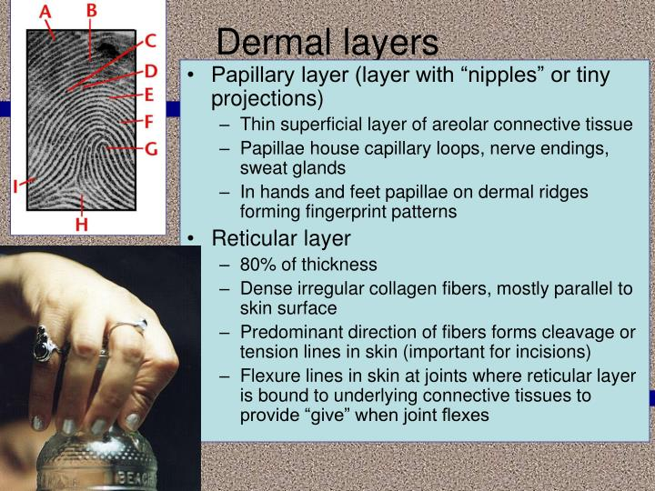 Dermal layers