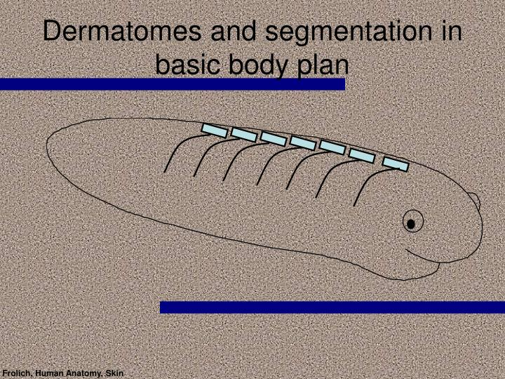 Dermatomes and segmentation in basic body plan