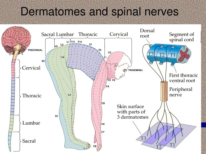 Dermatomes and spinal nerves