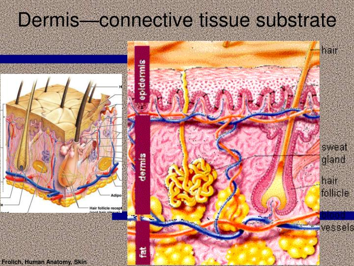 Dermis—connective tissue substrate