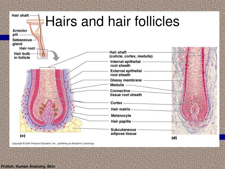 Hairs and hair follicles