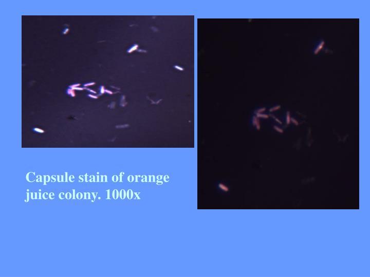 Capsule stain of orange juice colony. 1000x