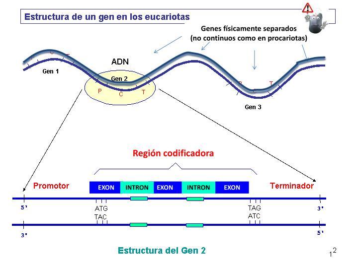 Genes físicamente separados