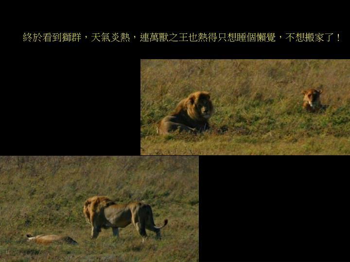 終於看到獅群,總共有