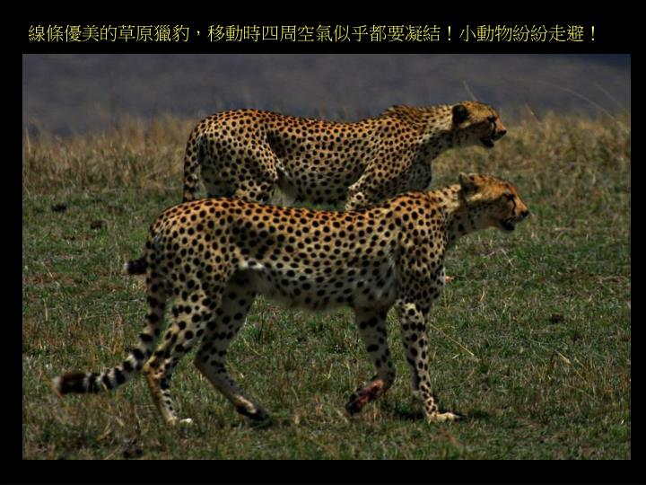 線條優美的草原獵豹,移動時四周空氣似乎都要凝結!小動物紛紛走避!