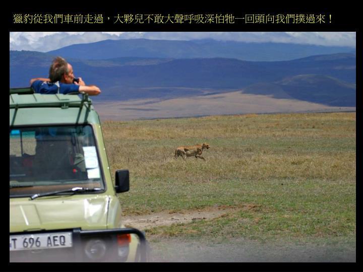 獵豹從我們車前走過,大夥兒不敢大聲呼吸深怕牠一回頭向我們撲過來!