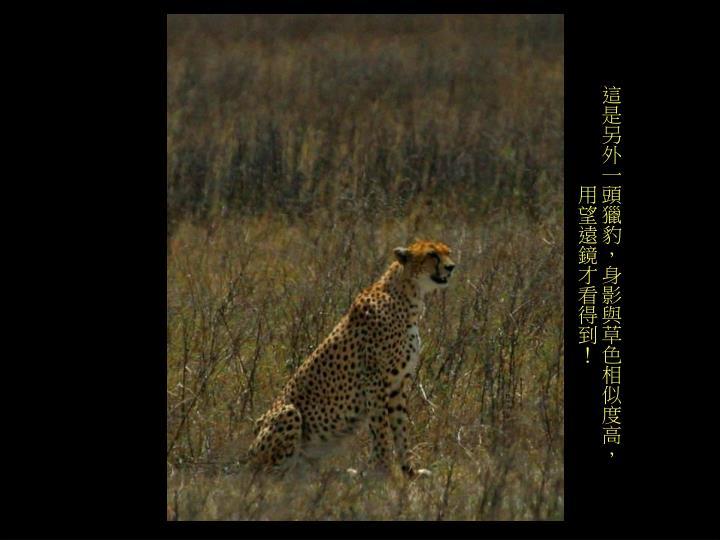 這是另外一頭獵豹,身影與草色相似度高,