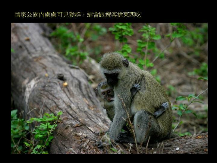 國家公園內處處可見猴群,還會跟遊客搶東西吃