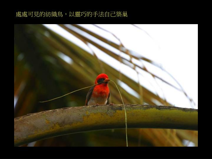 處處可見的紡織鳥,以靈巧的手法自己築巢