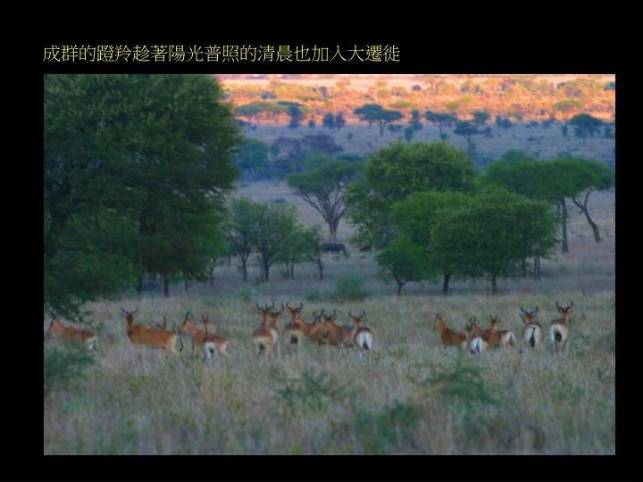 成群的蹬羚趁著陽光普照的清晨也加入大遷徙