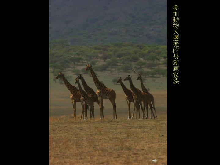 參加動物大遷徙的長頸鹿家族