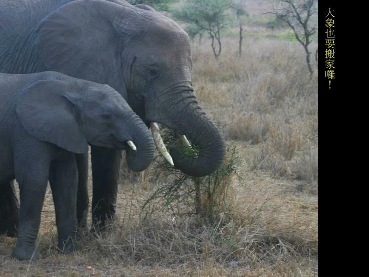 大象也要搬家囉!