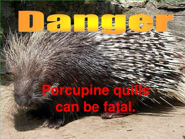 Porcupine quills can be fatal