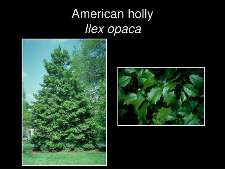 American holly