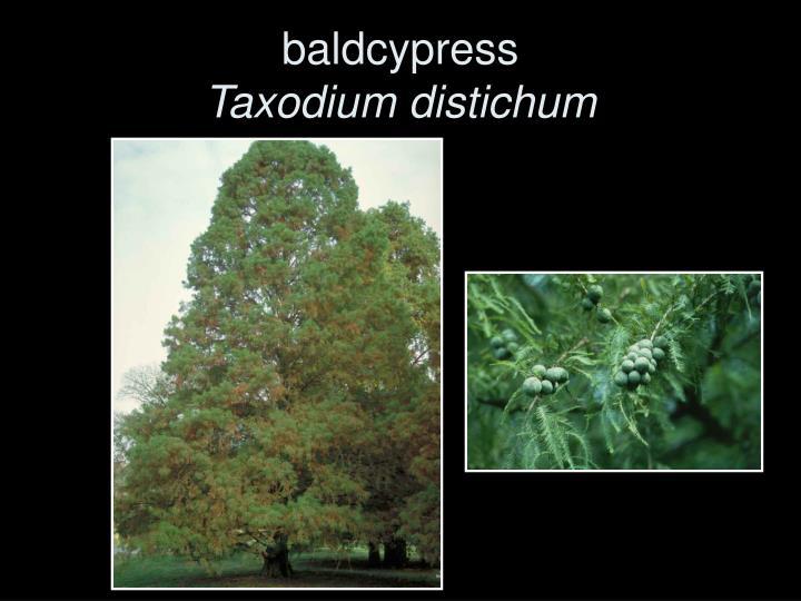 baldcypress