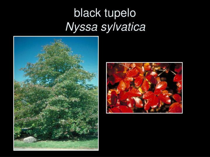 black tupelo
