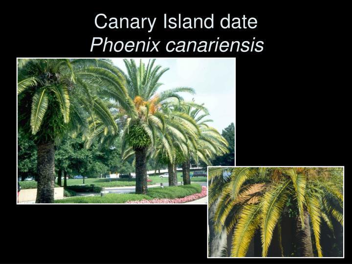 Canary Island date