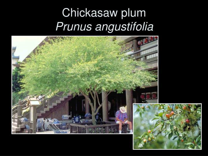Chickasaw plum