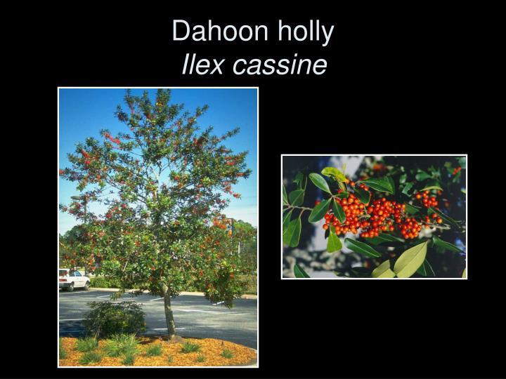 Dahoon holly