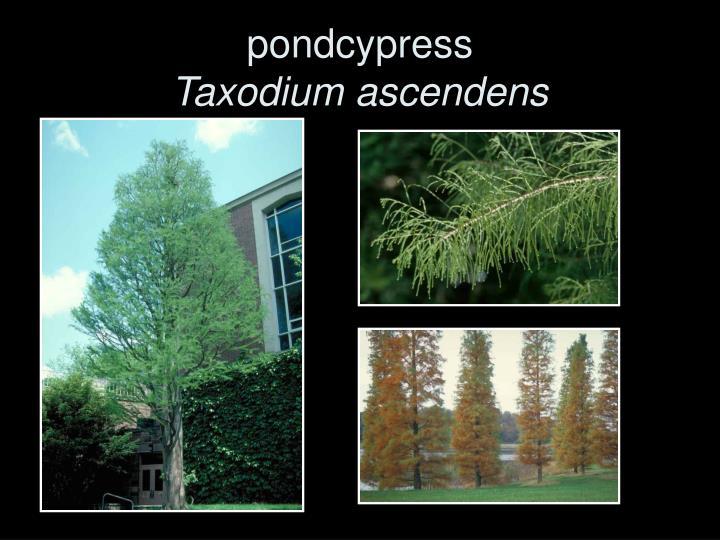 pondcypress