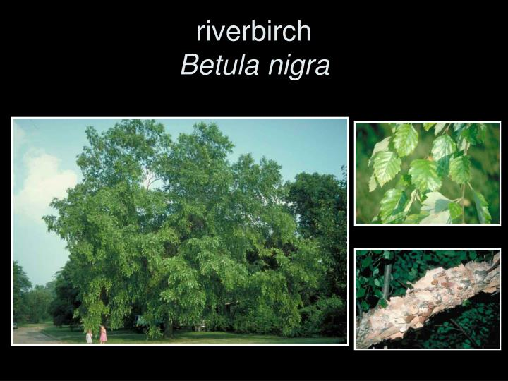 riverbirch