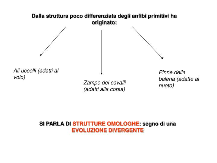 Dalla struttura poco differenziata degli anfibi primitivi ha originato: