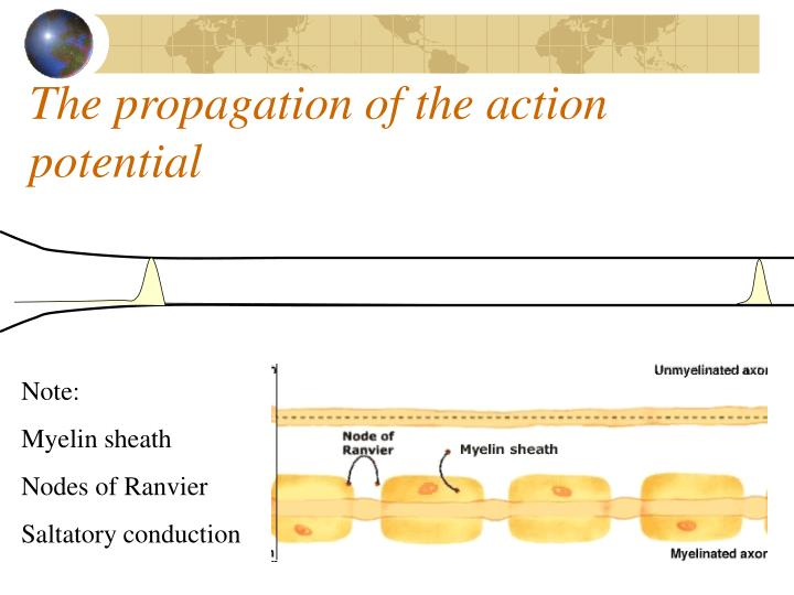 The propagation of the action potential