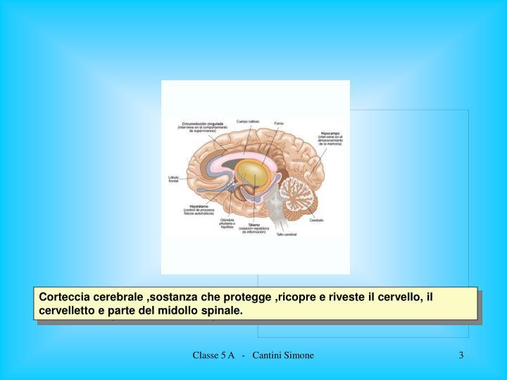 Corteccia cerebrale ,sostanza che protegge ,ricopre e riveste il cervello, il cervelletto e parte del midollo spinale.