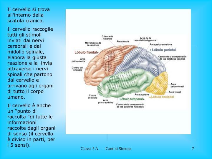 Il cervello si trova all'interno della scatola cranica.