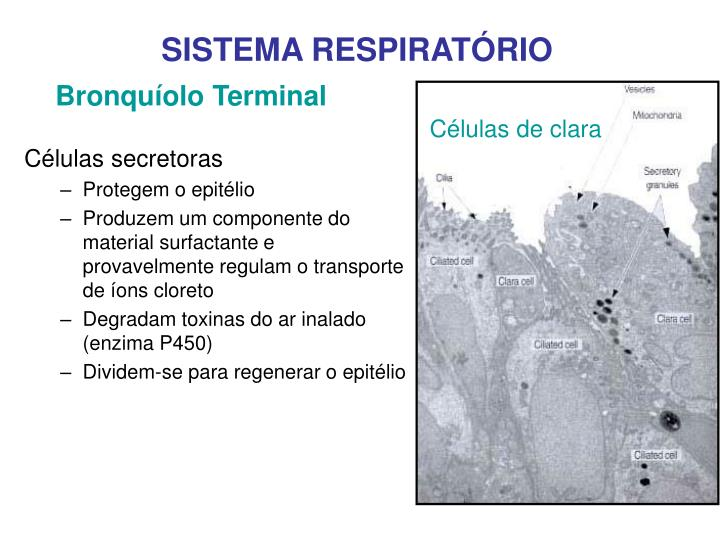Bronquíolo Terminal