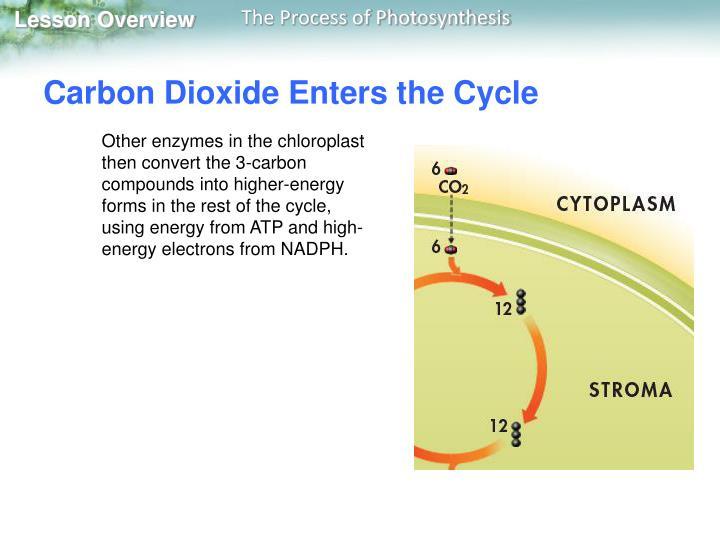 Carbon Dioxide Enters the Cycle
