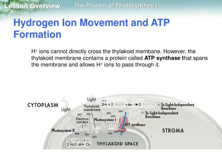 Hydrogen Ion Movement and ATP Formation