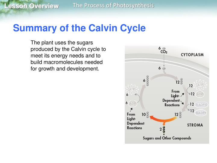Summary of the Calvin Cycle