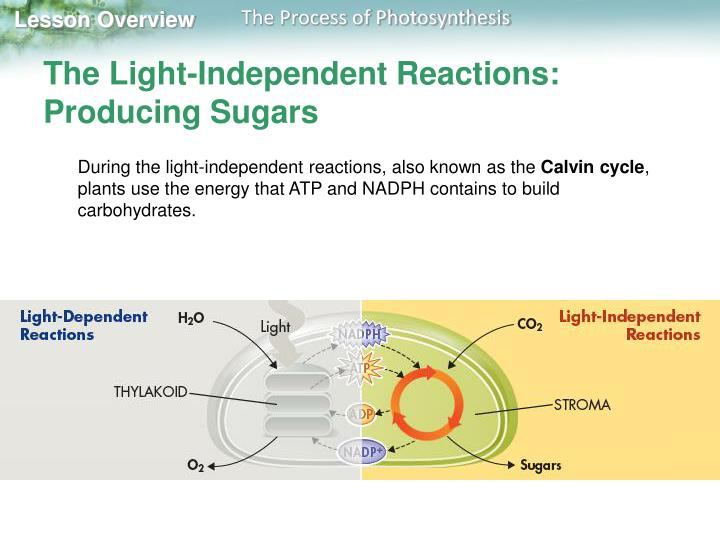 The Light-Independent Reactions: Producing Sugars