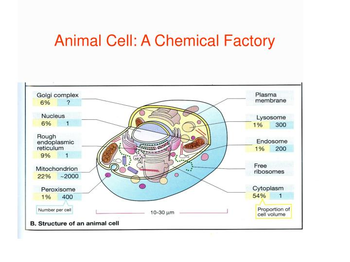 ANIMAL CELL: A CHEMICAL FACTORY
