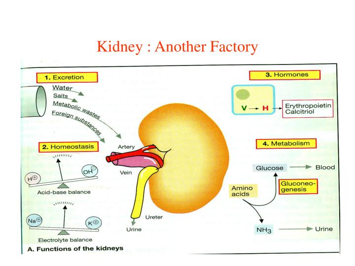 Kidney : Another Factory