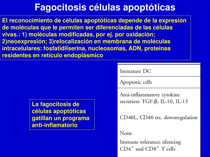 Fagocitosis células apoptóticas