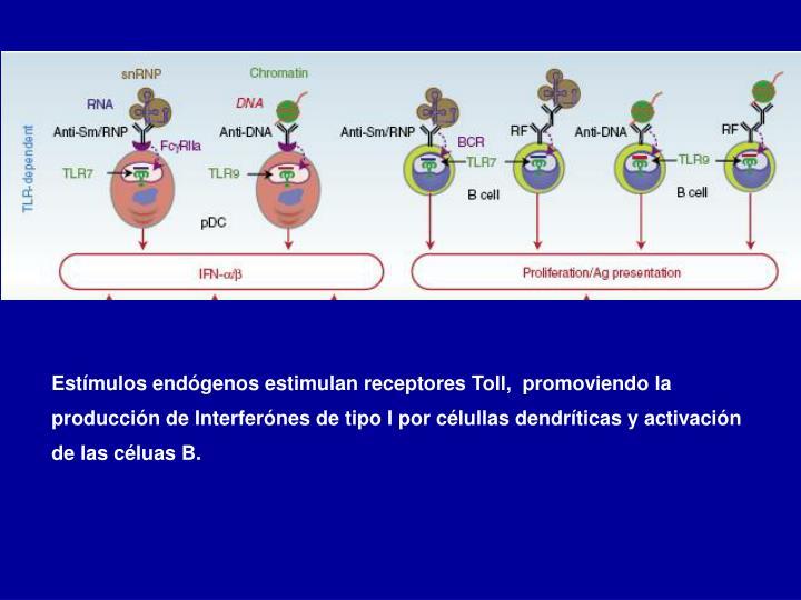 Estímulos endógenos estimulan receptores Toll,  promoviendo la producción de Interferónes de tipo I por célullas dendríticas y activación de las céluas B.
