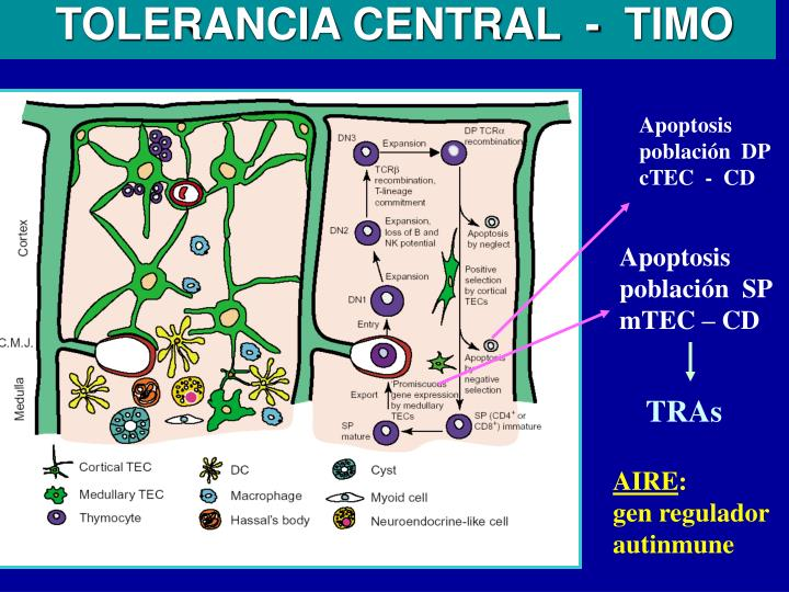 TOLERANCIA CENTRAL  -  TIMO
