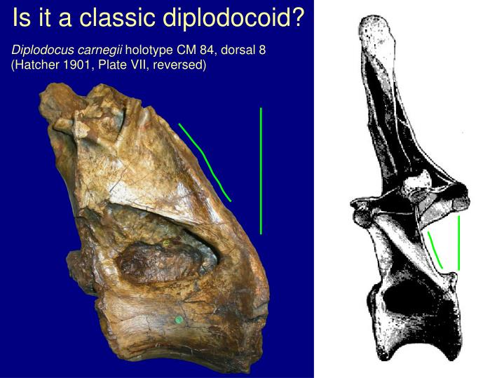 Is it a classic diplodocoid?