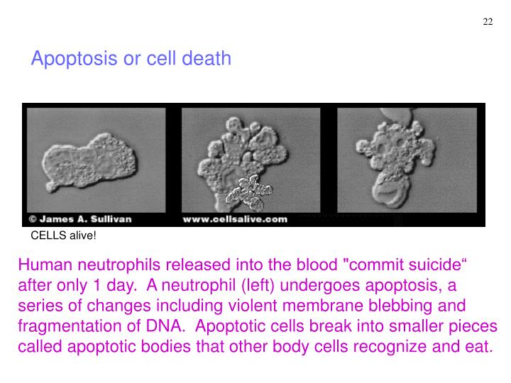 Apoptosis or cell death