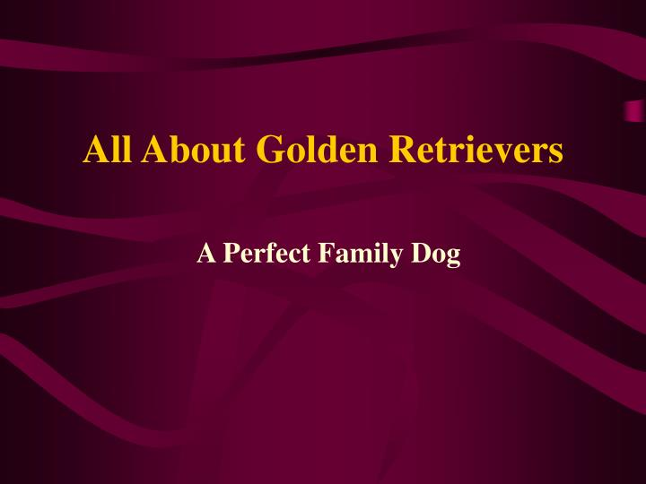 All about golden retrievers