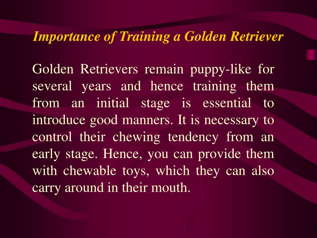 Importance of Training a Golden Retriever